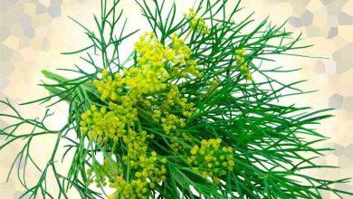 grávida pode tomar chá de erva-doce
